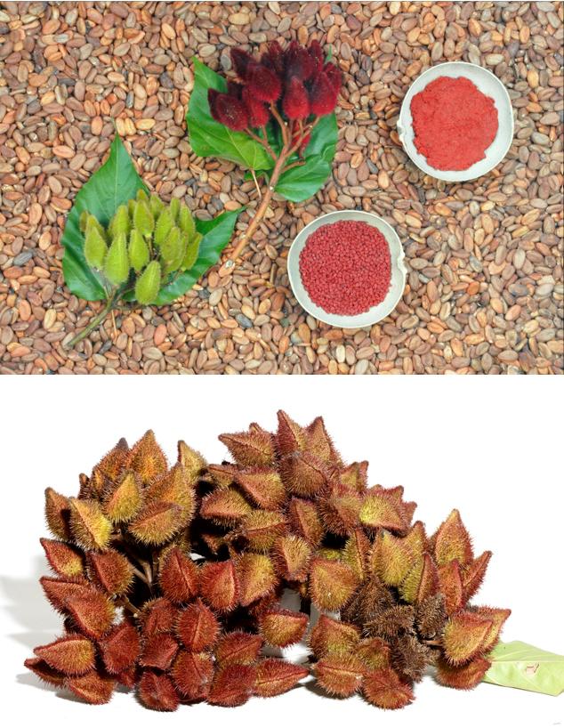 Diferent fáze Achiote jako je ovoce, osivo a barvivem, fotografie FLAAR Archiv